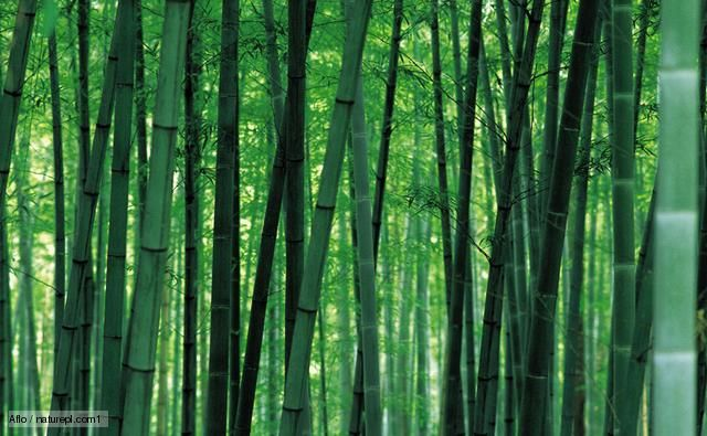 Plants: Bamboo is important to animals and people in ...