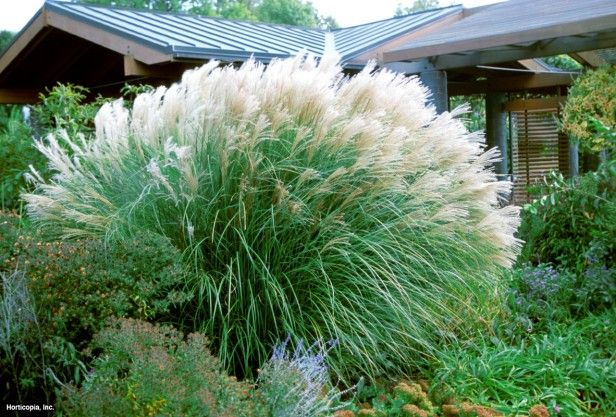 Maiden grass miscanthus sinensis 39 sarabande 39 eulalia for Maiden grass landscaping ideas