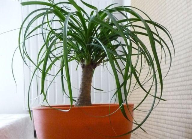 Le beaucarnea fait partie des plantes vertes d'appartement incontournables. Découvrez nos conseils de culture et les soins à lui apporter