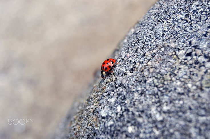 LADYBIRD - Marienkäfer - Coccinellids are known as ladybugs in North America, and ladybirds in other areas. Entomologists widely prefer the names ladybird beetles or lady beetles as these insects are not classified as true bugs.