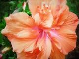 Double Peach Hibiscus.  We usually have one of these every year for our tortoise to eat the flowers!