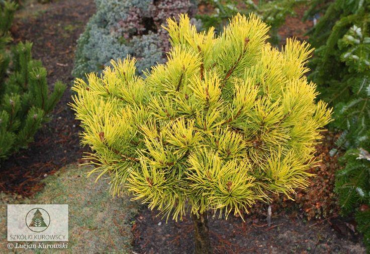 Pinus mugo 'Jalubi' -