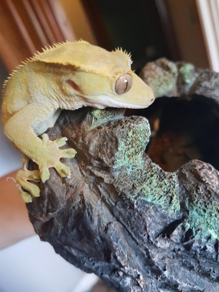 First time owning a lizard. Already love my Crested Gecko named Drogo. http://ift.tt/2tBNops