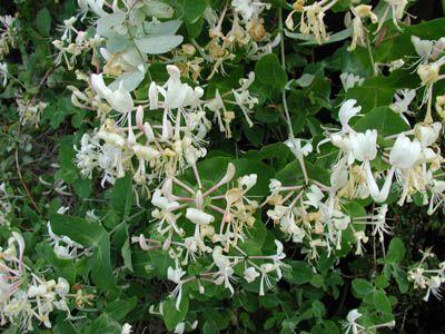 äkta kaprifol (Lonicera caprifolium)  Klätterväxt Blomning: maj-juni