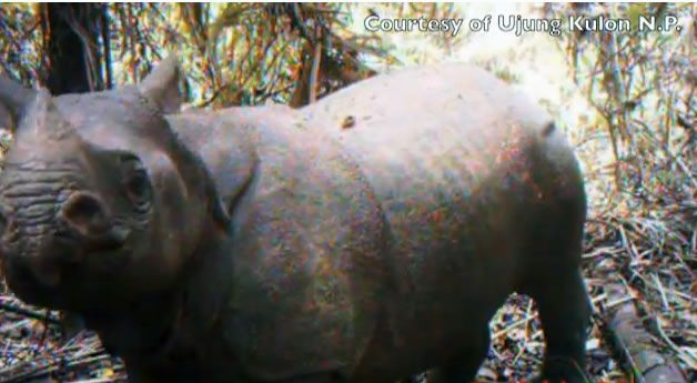 Javan rhinos survive in just one known location on Earth: Ujung Kulon National Park, Java, Indonesia.