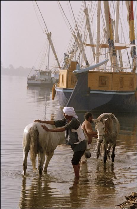 .Edfu. Washing the horses that pull the caleches in the Nile in the early morning light.