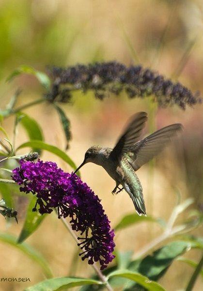 Beauty of the hummingbird