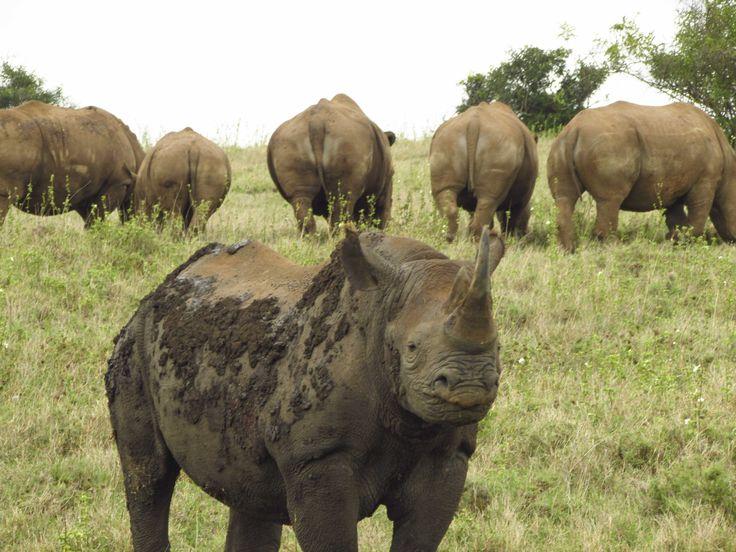 A large 'crash' of black rhino - a truly exceptional sighting. #Africa #Travel #wildlife #Rhino
