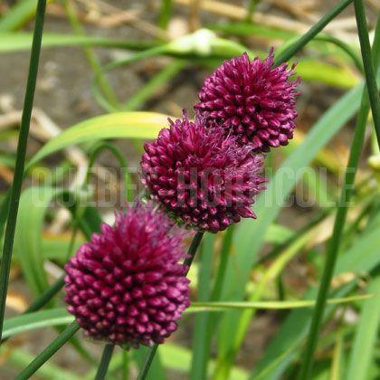 image de Allium sphaerocephalon