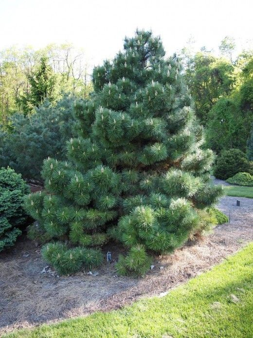 Austrian pine is a great screen tree, especially when young.