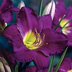 Purple de Oro Reblooming Daylily will grow well in full sun to part shade in zones 3-9.  Bloom time is from early summer to frost.  Available at brecks.com .