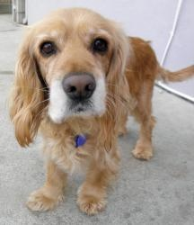 Jessica is an adoptable Cocker Spaniel Dog in South San Francisco, CA. Jessica is a beautiful Cocker Spaniel mix -- we think she might have some Golden Retriever in her. She was dumped with her four p...