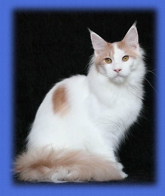 Maine Coon, Van. Chamberlain Secret Love (cream classic tabby van)