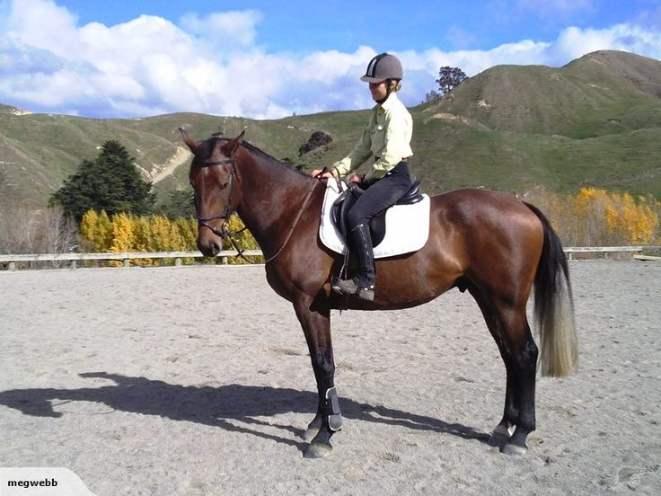 JERRY. 5 year old, 16.1hh, bay/roan gelding.  Out of an Anamour mare  by Kiwi Emilion. Meg Webb. 06 3228144 027 2378745