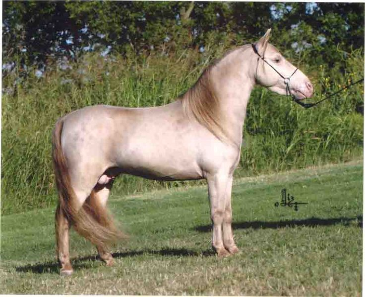 ridgehavens cocoa 900 732 classic cream silver miniature horse interesting horse. Black Bedroom Furniture Sets. Home Design Ideas