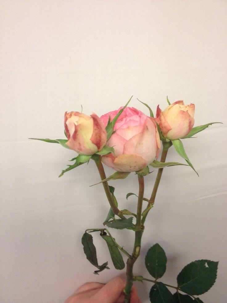 Greinrose - Piano - Rosa