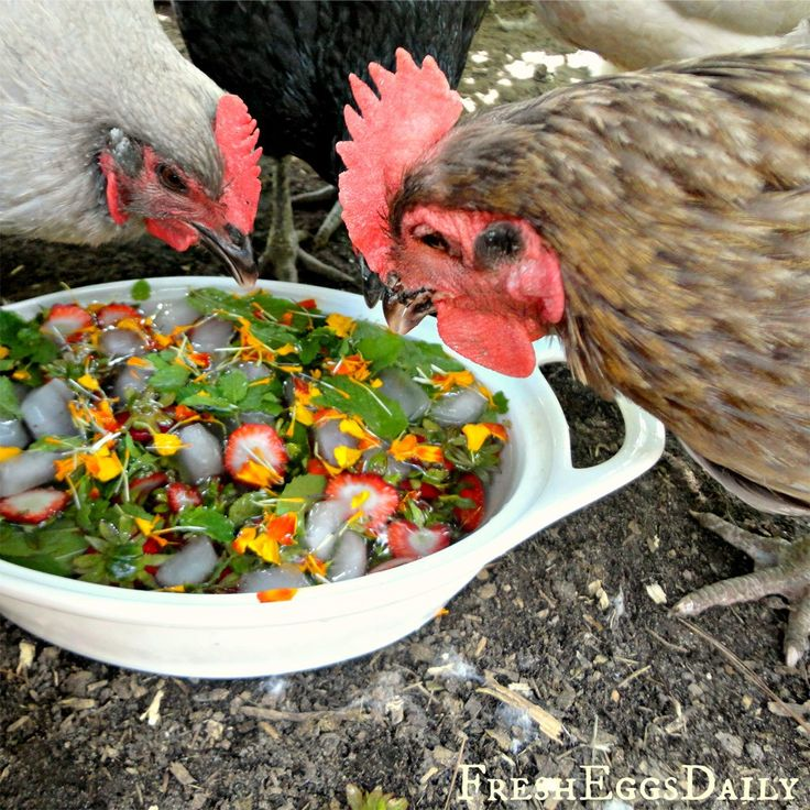 Herb Garden for Chickens: mint, marigold, and strawberries with ice