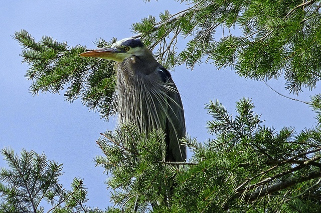 This Great Blue Heron is just scouting out the pond. I didn't see it  until later, but his mate was sitting in the same tree.  I haven't seen Herons in fir trees before.