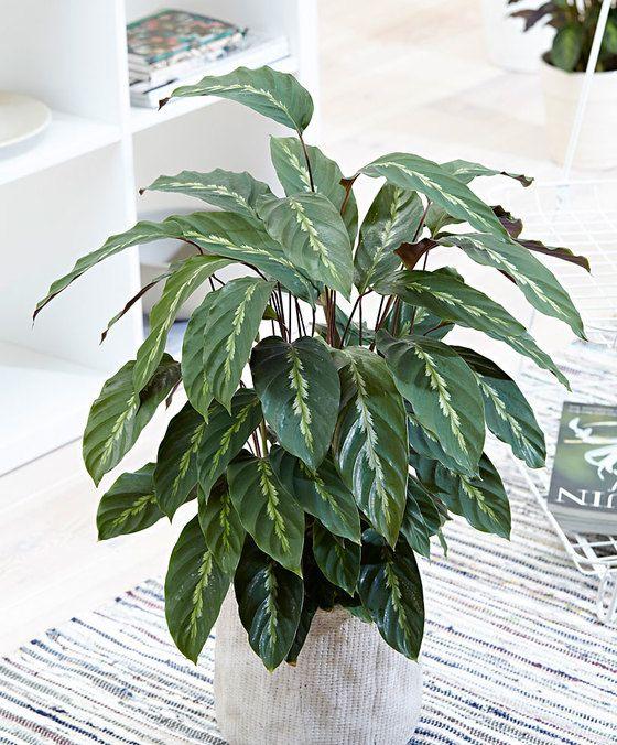 Air so Pure Calathea 'Mauriqueen'  Een prachtige bonte Calathea! Het blad met de donker en lichtgroene vlakken is bijzonder decoratief en staat prachtig en elk interieur. Deze Calathea 'Mauriqueen' gaat in de avond slapen. Alle bladeren staan dan recht omhoog. Dat is grappig om te zien. Deze plant uit het Zuid-Amerikaanse tropische regenwoud vindt een plaatsje in de (half)schaduw geweldig. De Calathea 'Mauriqueen' is gemakkelijk te verzorgen. Calathea's brengen ook schone lucht! In uw huis…