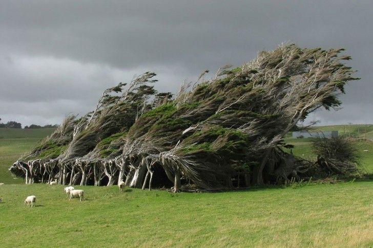 Il risultato di centinaia di anni di esposizione ai venti antartici del sud della Nuova Zelanda è questa curvatura dinamica dei rami, inconsueta per un albero. The result of hundreds of years of exposure to the Antarctic winds of southern New Zealand's dynamic curvature of branches, unusual for this tree.