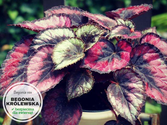 Begonia Krolewska Indoor Plants Low Light Hanging Herbs Low Light Plants
