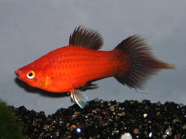 Pin By Fish Place On Zivorodky Wagtail Platy Fish Betta Aquarium