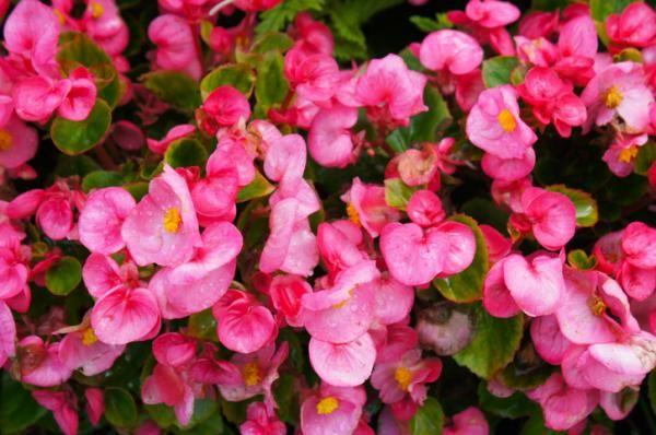 Gorgeous Pink Flowers for Your Garden Popular Flowers, All Flowers, Tropical Flowers, Beautiful Flowers, Petunias, Zinnias, Ficus Pumila, Growing Peonies, Growing Flowers