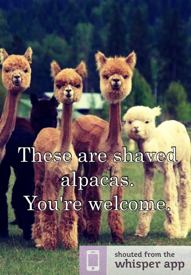These are shaved alpacas.  You're welcome.  Sorry, may be the Burgundy, but I just LOL!