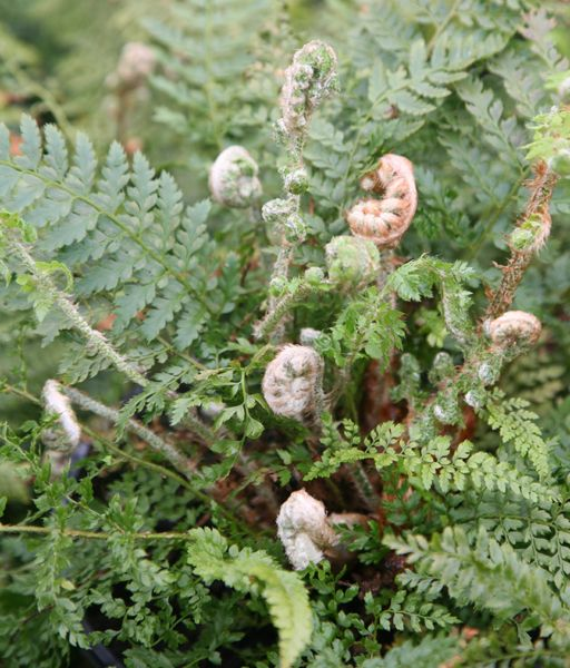 Polystichum setiferum (Divisilobum Group) 'Herrenhausen' soft shield fern