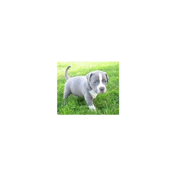 American PitBulls For Sale, Blue PitBull PUPPIES Pictures, PitBull... ❤ liked on Polyvore featuring animals, pets, dogs, pics and pictures