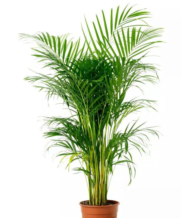 7c835bc223f6454ef2ed7e34741855ff--fern-plant-ferns Palm Fern House Plant on white fern plant, palm leaf house plant, palm tree house plant, palm house plant identification, majesty palm house plant, base ball with a fern plant, sago palm house plant, kangaroo paws plant, lady palm house plant, palm fern tree, palm fern wallpaper, boston fern plant, bamboo fern house plant, date plant, air fern plant,