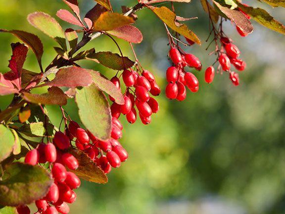 Berberitze   eatsmarter.de Einheimisch, Früchte Essbar rest aber giftig! Gelbe Blüten, Herbstlaub, 1-3 m