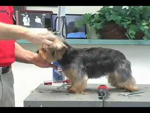Yorkie grooming. Learn how to groom a yorkie, yorkshire terrier, at www.howtogroom.net - YouTube