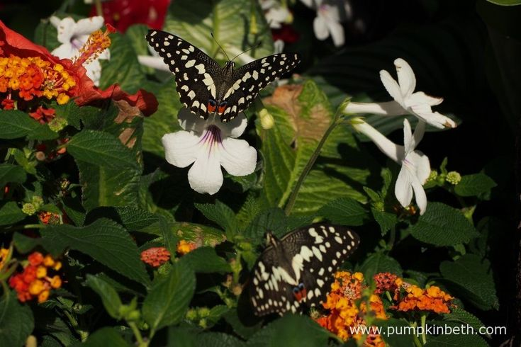 A pair of Chequered Swallowtail butterflies, also known as Papilio demoleus, pictured with Streptocarpus, Lantana and Hibiscus flowers, inside the Butterfly Dome, at the RHS Hampton Court Palace Flower Show 2016.