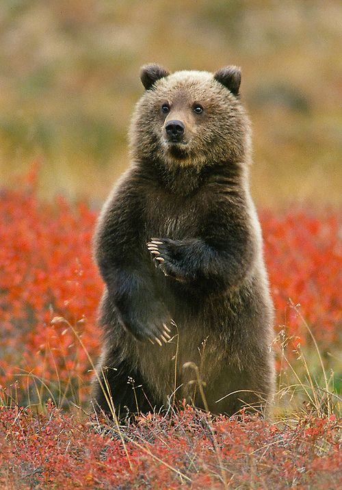 'Kung Fu Grizzly Cub' - photo by Gary Lackie, via Flickr