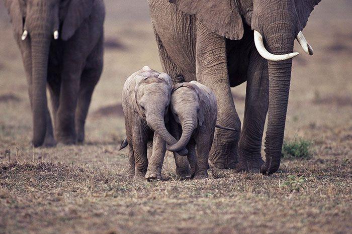 cuccioli di elefante