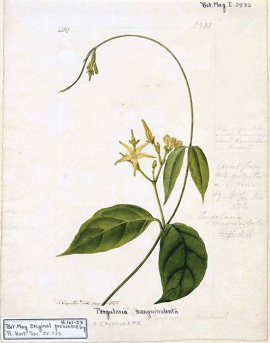 Cryptolepis root is used medicinally for bacterial infections as a powder, tincture, tea or capsule.   Illustration courtesy Wikimedia Commons