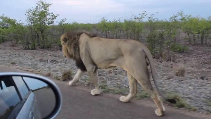 This Should Go Without Saying, But Please Give Full-Grown Lions Their Space; The king of the Jungle, Do not tease Asiatic Lion