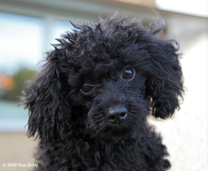 Black toy poodle puppy names