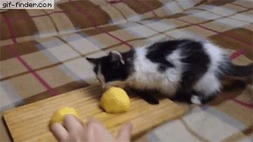 Kitten stealing potatoes | Gif Finder – Find and Share funny animated gifs