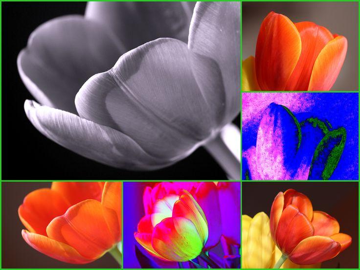 Tulipánky