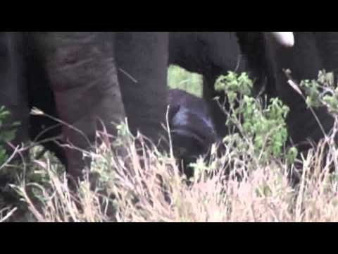 Amazing 5 minute video of a baby elephant being born in the wild. Interesting how the entire herd is involved.  - YouTube