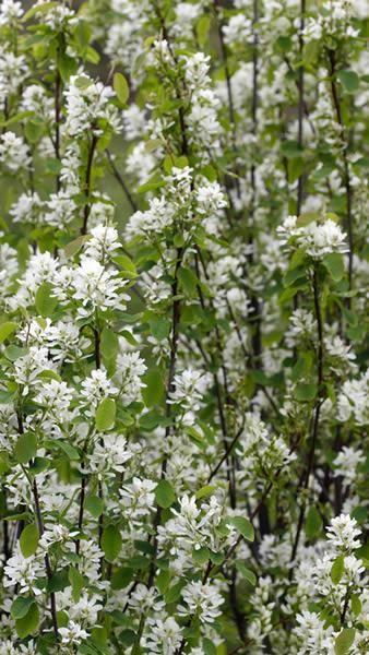Amelanchier Alnifolia Obelisk, white flowering ornamental tree for sale at our UK garden nursery, buy online, UK delivery