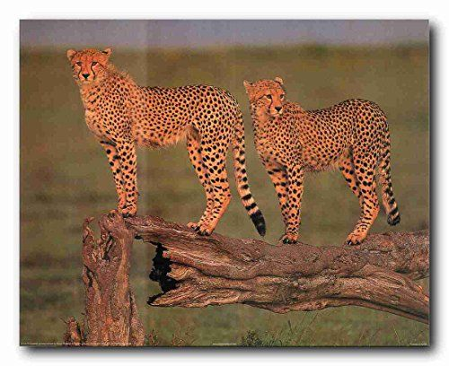 Look Wow! Bring nature indoors with this beautiful cheetah art print poster. This poster depicts the image of pair of cheetah standing on a broke tree branch looking at someone is sure to grab lot of attention. This poster helps to transform your living space from ordinary to a charming space. Hurry up and order this poster for its excellent quality with high degree of color accuracy.