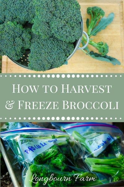 Learn the easiest way to harvest broccoli and freeze broccoli. It's such an easy way to preserve what you grow and enjoy it all season long and into the winter!