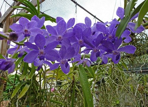 Rhynchostylis Gigantea CARTOON BLUE | the blue one I think is Rhy.gigantea x V.coerulea,it's tag says vanda ...