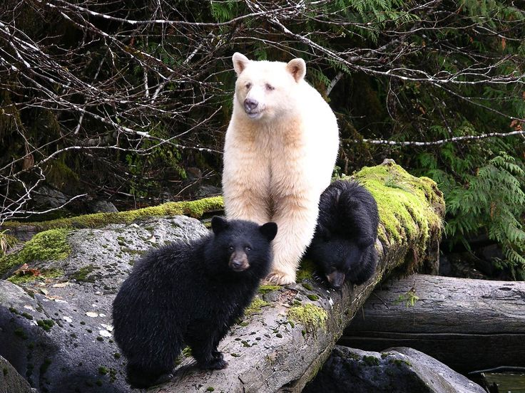 White Spirit Kermode Bear Momma With Her Cubs The Is A Blonde Subspecies Of Black Once Thought To Exist Only In Native American