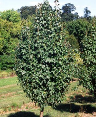 Ussurian Pear - Pyrus ussuriense