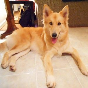 german shepherd mix golden retriever golden retrievers golden retriever mix and german 839