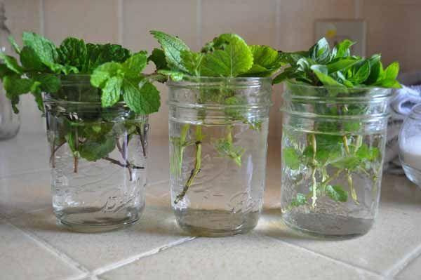 mettre de la menthe dans l'eau pour obtenir des racines avant de la replanter